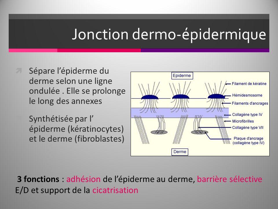 Jonction dermo-épidermique Sépare lépiderme du derme selon une ligne ondulée. Elle se prolonge le long des annexes Synthétisée par l épiderme (kératin