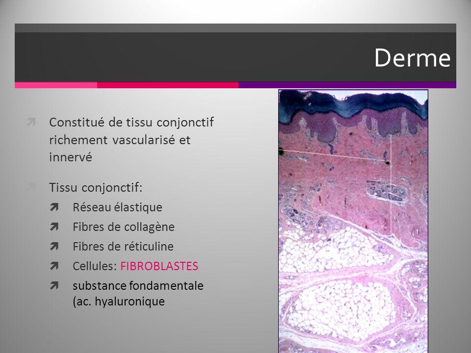 Derme Constitué de tissu conjonctif richement vascularisé et innervé Tissu conjonctif: Réseau élastique Fibres de collagène Fibres de réticuline Cellules: FIBROBLASTES substance fondamentale (ac.