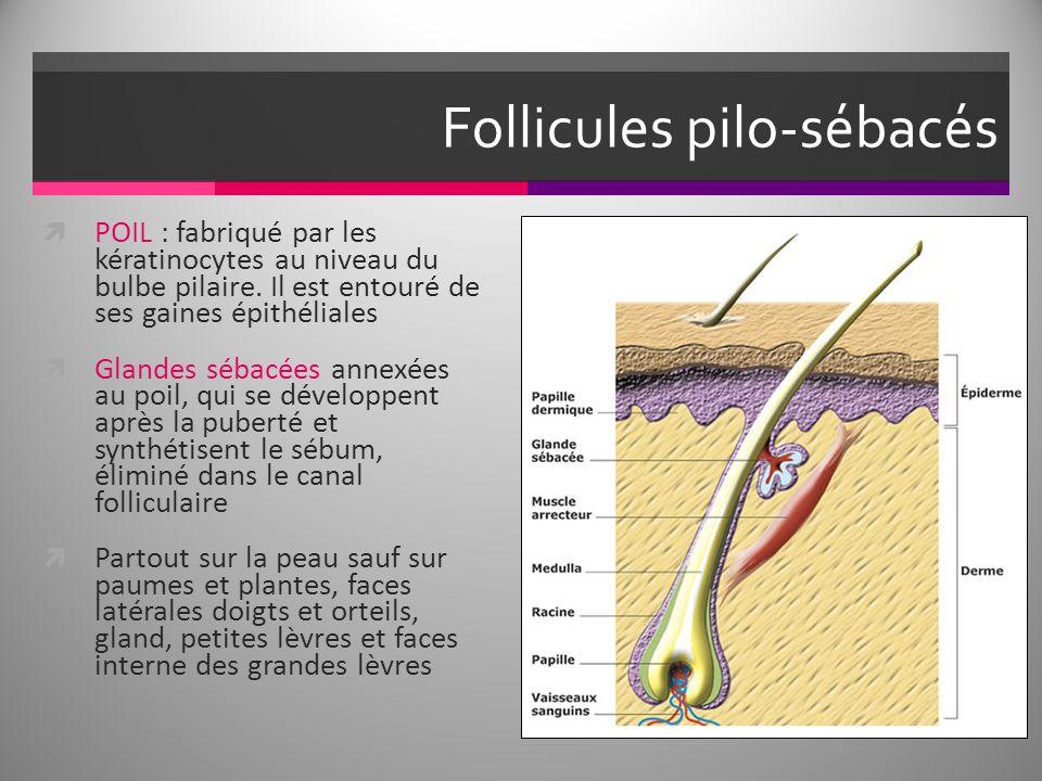 Follicules pilo-sébacés POIL : fabriqué par les kératinocytes au niveau du bulbe pilaire. Il est entouré de ses gaines épithéliales Glandes sébacées a