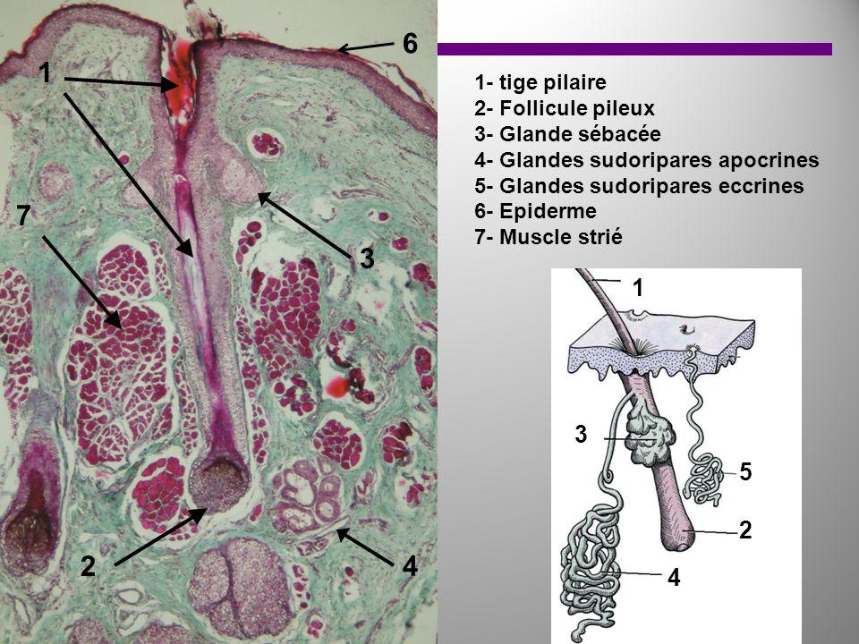 1 2 3 7 4 6 1 2 3 4 5 1- tige pilaire 2- Follicule pileux 3- Glande sébacée 4- Glandes sudoripares apocrines 5- Glandes sudoripares eccrines 6- Epider