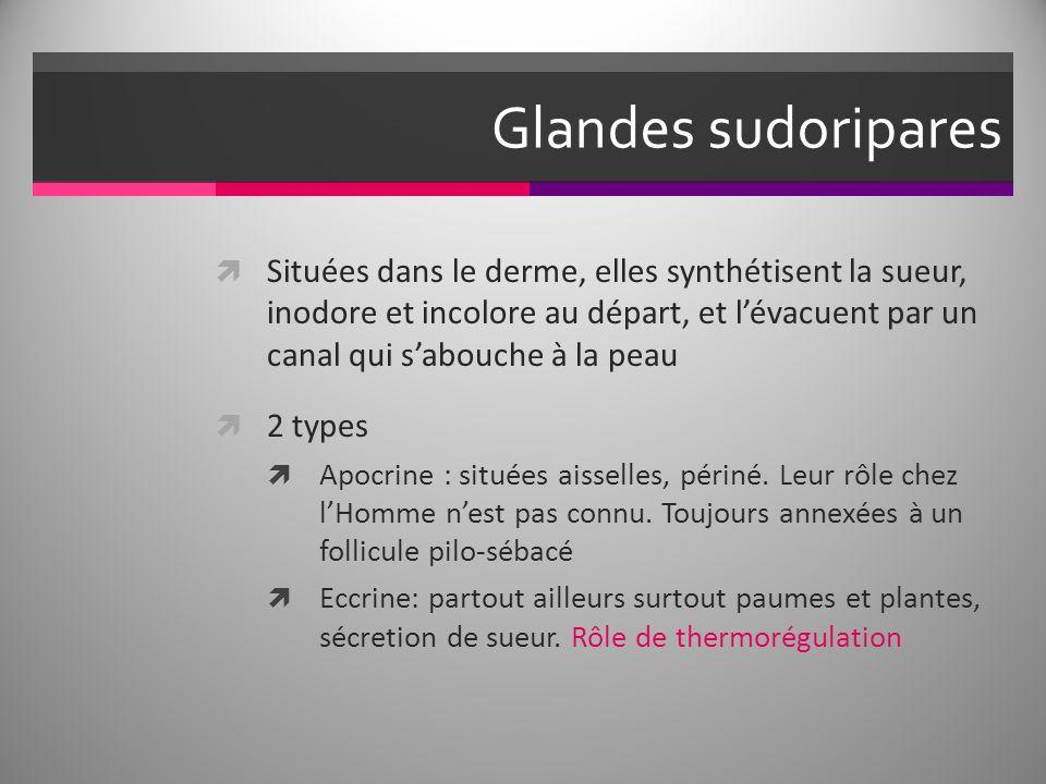 Glandes sudoripares Situées dans le derme, elles synthétisent la sueur, inodore et incolore au départ, et lévacuent par un canal qui sabouche à la peau 2 types Apocrine : situées aisselles, périné.