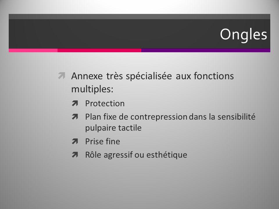 Ongles Annexe très spécialisée aux fonctions multiples: Protection Plan fixe de contrepression dans la sensibilité pulpaire tactile Prise fine Rôle agressif ou esthétique