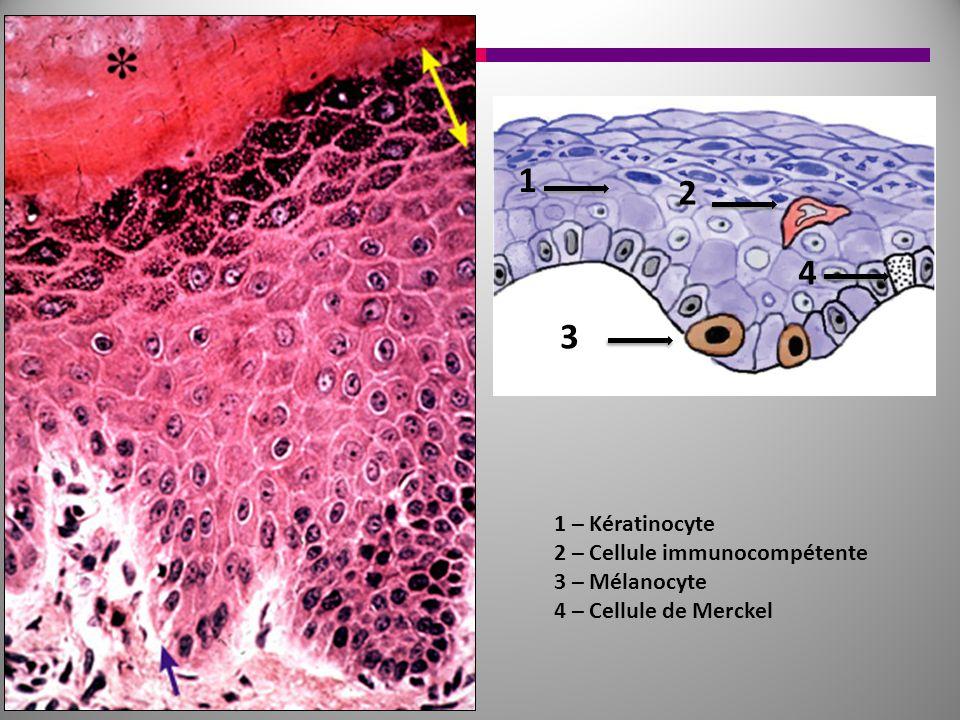 1 2 3 4 1 – Kératinocyte 2 – Cellule immunocompétente 3 – Mélanocyte 4 – Cellule de Merckel