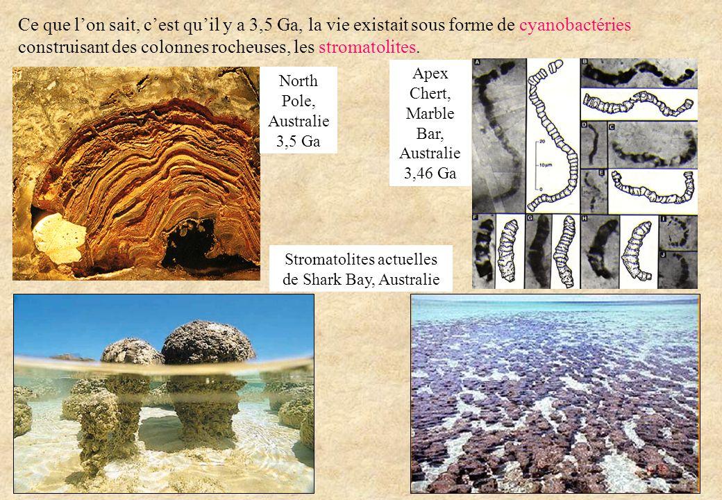 Ce que lon sait, cest quil y a 3,5 Ga, la vie existait sous forme de cyanobactéries construisant des colonnes rocheuses, les stromatolites. Apex Chert