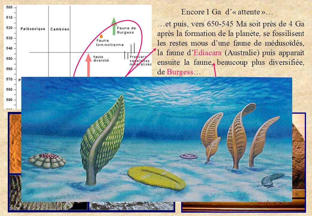 …et puis, vers 650-545 Ma soit près de 4 Ga après la formation de la planète, se fossilisent les restes mous dune faune de médusoïdés, la faune dEdiac