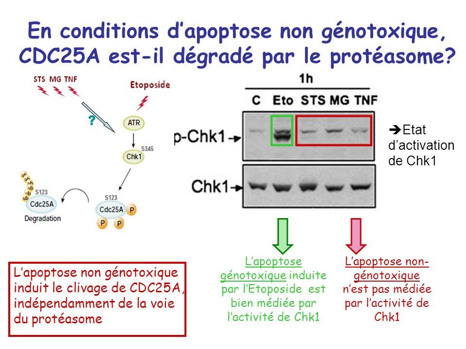 En conditions dapoptose non génotoxique, CDC25A est-il dégradé par le protéasome? Etat dactivation de Chk1 Lapoptose génotoxique induite par lEtoposid