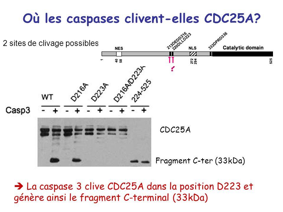Où les caspases clivent-elles CDC25A? 2 sites de clivage possibles: La caspase 3 clive CDC25A dans la position D223 et génère ainsi le fragment C-term