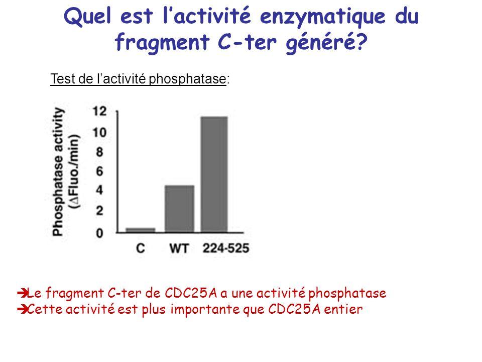 Quel est lactivité enzymatique du fragment C-ter généré? Le fragment C-ter de CDC25A a une activité phosphatase Cette activité est plus importante que