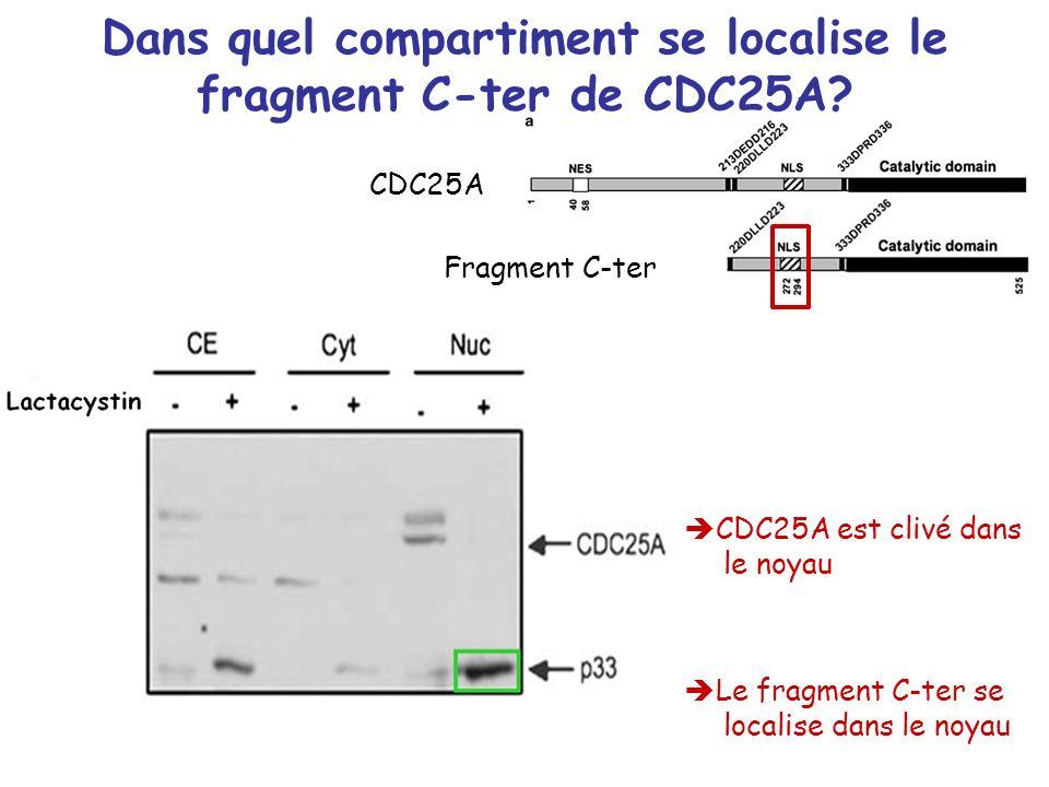 Dans quel compartiment se localise le fragment C-ter de CDC25A? CDC25A est clivé dans le noyau Le fragment C-ter se localise dans le noyau CDC25A Frag