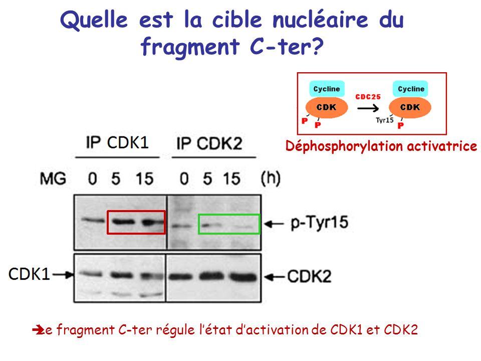 Quelle est la cible nucléaire du fragment C-ter? Déphosphorylation activatrice Le fragment C-ter régule létat dactivation de CDK1 et CDK2