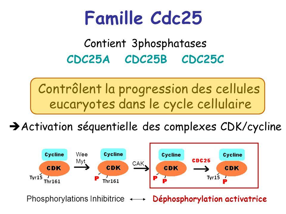 Famille Cdc25 Contient 3phosphatases CDC25A CDC25B CDC25C Contrôlent la progression des cellules eucaryotes dans le cycle cellulaire Activation séquen