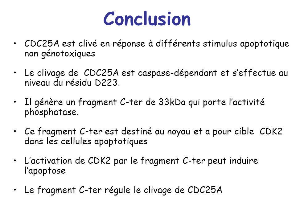 Conclusion CDC25A est clivé en réponse à différents stimulus apoptotique non génotoxiques Le clivage de CDC25A est caspase-dépendant et seffectue au n