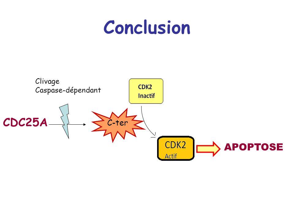 Conclusion CDC25A Clivage Caspase-dépendant C-ter APOPTOSE