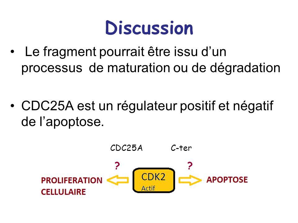 Discussion Le fragment pourrait être issu dun processus de maturation ou de dégradation CDC25A est un régulateur positif et négatif de lapoptose. ?? C