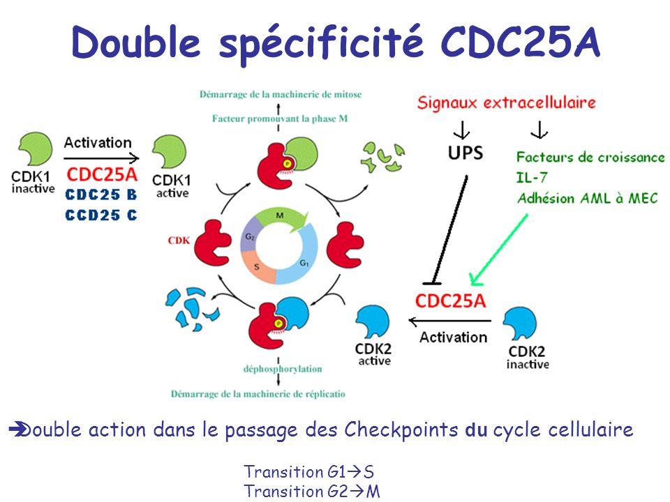 Double spécificité CDC25A Double action dans le passage des Checkpoints du cycle cellulaire Transition G1 S Transition G2 M