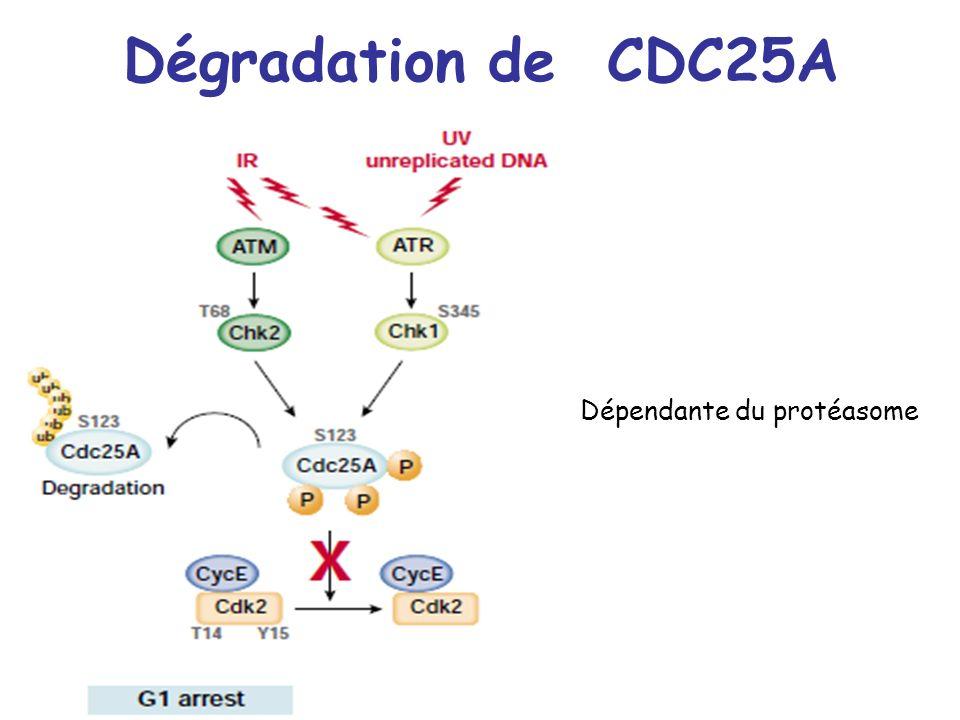 Dégradation de CDC25A Dépendante du protéasome