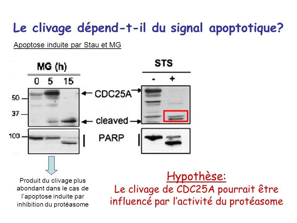 Le clivage dépend-t-il du signal apoptotique? Apoptose induite par Stau et MG Produit du clivage plus abondant dans le cas de lapoptose induite par in