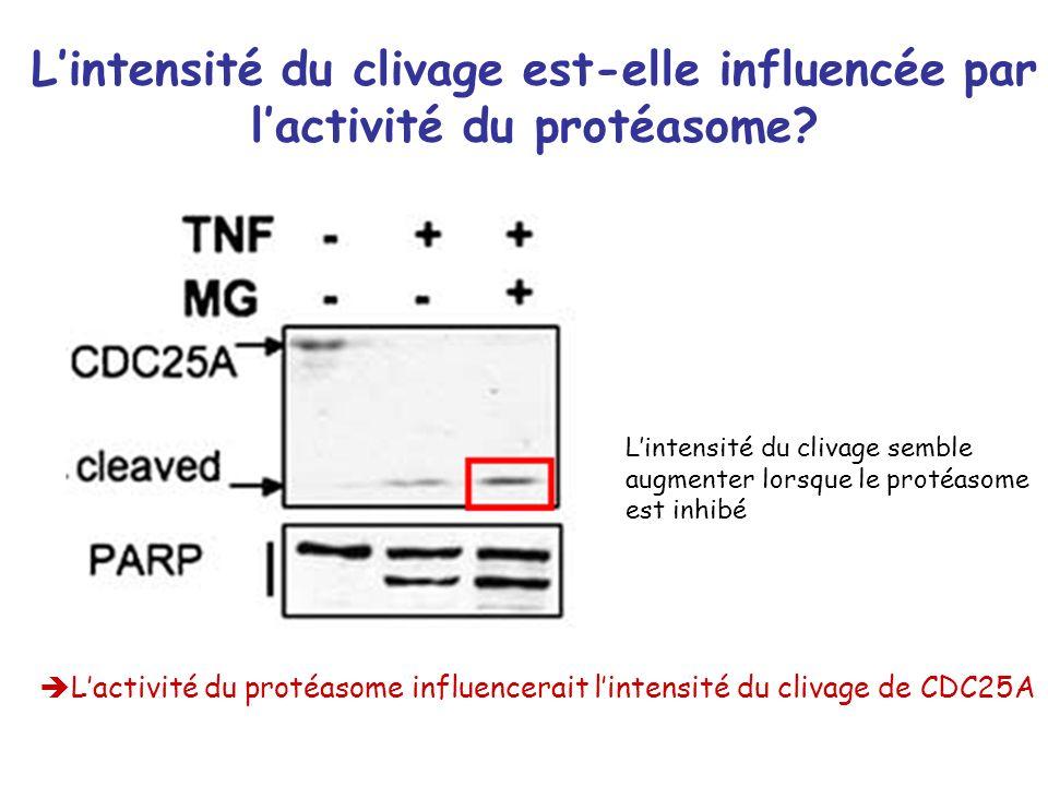 Lintensité du clivage est-elle influencée par lactivité du protéasome? Lactivité du protéasome influencerait lintensité du clivage de CDC25A Lintensit