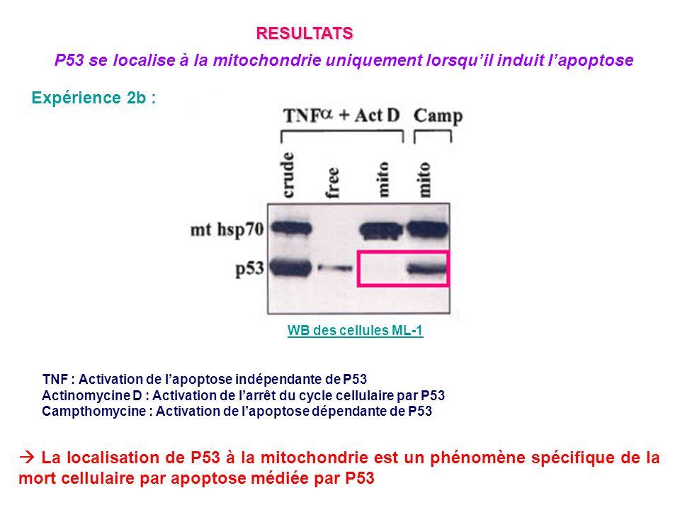 Expérience 2b : TNF : Activation de lapoptose indépendante de P53 Actinomycine D : Activation de larrêt du cycle cellulaire par P53 Campthomycine : Ac