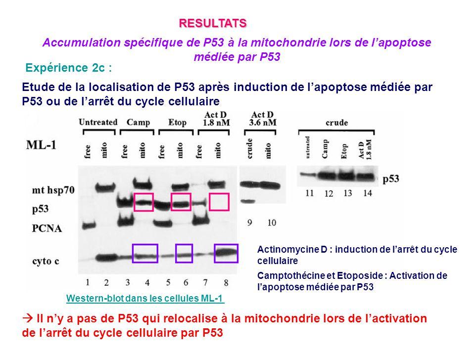 Expérience 2c : Etude de la localisation de P53 après induction de lapoptose médiée par P53 ou de larrêt du cycle cellulaire Actinomycine D : inductio