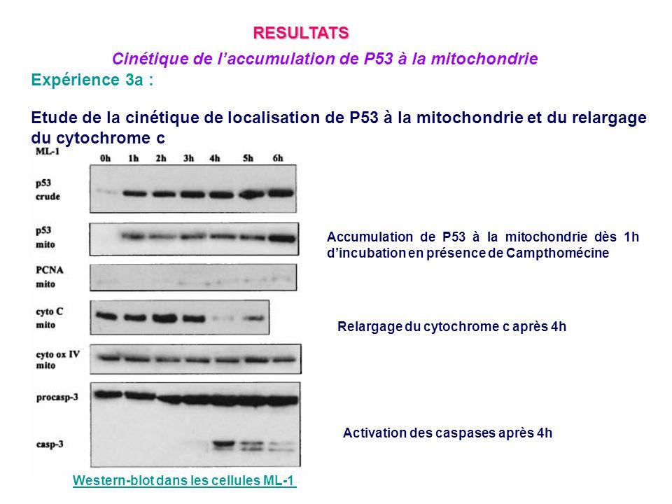 Expérience 3a : Etude de la cinétique de localisation de P53 à la mitochondrie et du relargage du cytochrome c Accumulation de P53 à la mitochondrie d