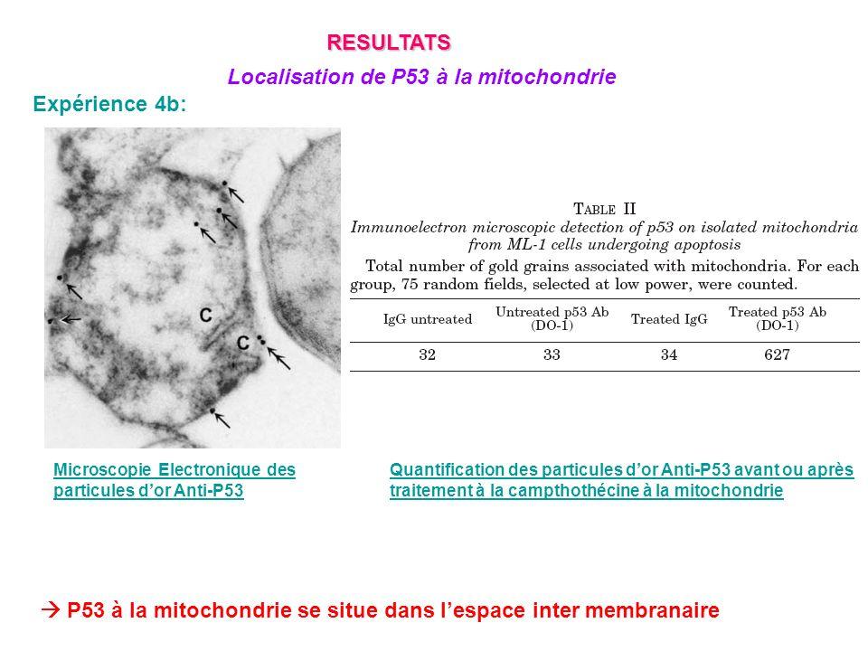 Expérience 4b: Microscopie Electronique des particules dor Anti-P53 Quantification des particules dor Anti-P53 avant ou après traitement à la campthot