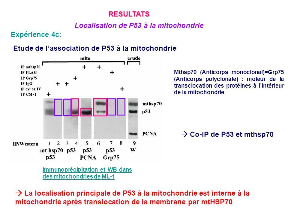Expérience 4c: Etude de lassociation de P53 à la mitochondrie Mthsp70 (Anticorps monoclonal)=Grp75 (Anticorps polyclonale) : moteur de la transclocati