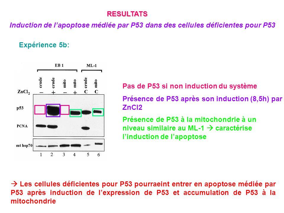 Expérience 5b: Pas de P53 si non induction du système Présence de P53 après son induction (8,5h) par ZnCl2 Présence de P53 à la mitochondrie à un nive