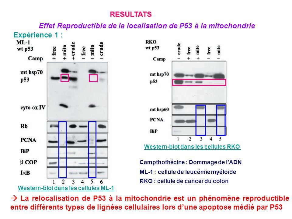 La relocalisation de P53 à la mitochondrie est un phénomène reproductible après induction de différents types de stress cellulaire dans lapoptose médié par P53 Expérience 1 : Campthothécine : Dommage de lADN Desferroxamine (DXE) : stress hypoxique RESULTATS Effet Reproductible de la localisation de P53 à la mitochondrie Western-blot dans les cellules ML-1