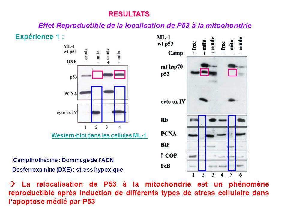 Expérience 5c : Surexpression de Bcl-xL et Bcl-2 anti apoptotique dans les cellules 32D de souris Diminution de la mort cellulaire après surexpression de Bcl-xL La famille Bcl-2 annule leffet apoptotique de P53 à la mitochondrie Pas de P53 si surexpression de Bcl-2 ou Bcl-xL contrairement au contrôle Il y a un lien direct ou indirect entre P53 et les protéines de la famille de Bcl-2 au niveau de la mitochondrie RESULTATS Etude du rôle des régulateurs mitochondriaux de lapoptose sur la localisation de P53 à la mitochondrie