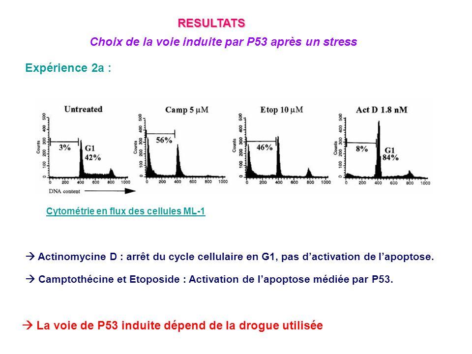 Expérience 2b : TNF : Activation de lapoptose indépendante de P53 Actinomycine D : Activation de larrêt du cycle cellulaire par P53 Campthomycine : Activation de lapoptose dépendante de P53 La localisation de P53 à la mitochondrie est un phénomène spécifique de la mort cellulaire par apoptose médiée par P53 RESULTATS P53 se localise à la mitochondrie uniquement lorsquil induit lapoptose WB des cellules ML-1
