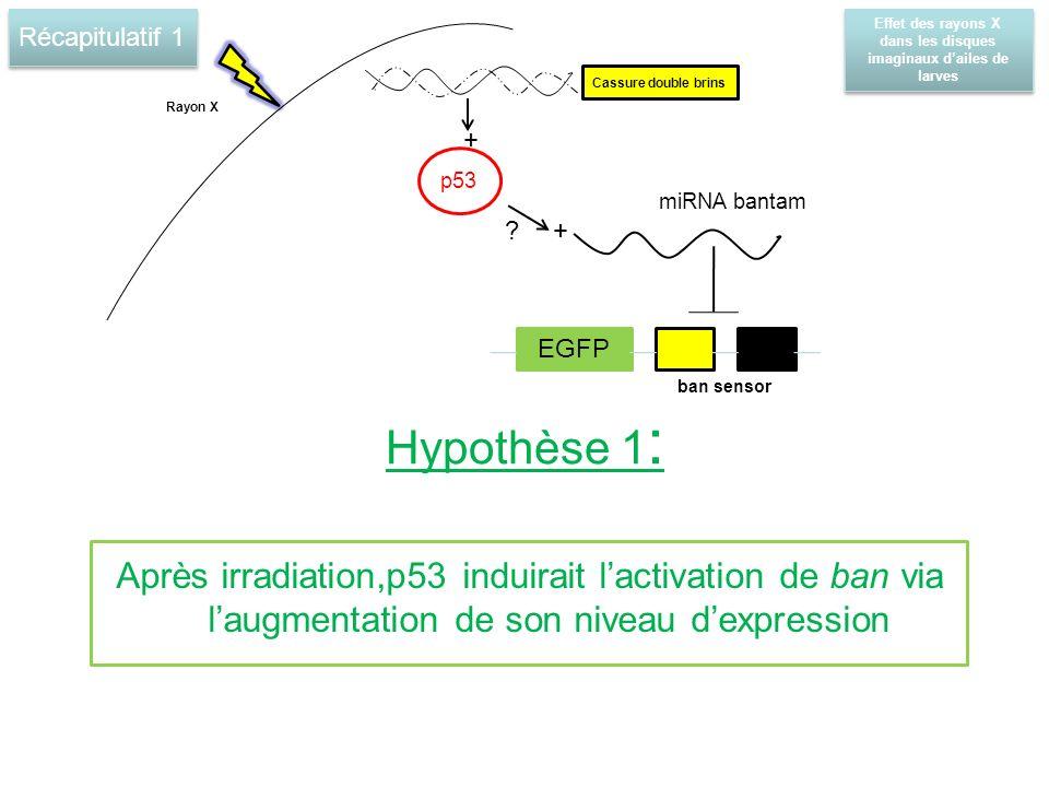 Hypothèse 1 : Après irradiation,p53 induirait lactivation de ban via laugmentation de son niveau dexpression Rayon X p53 miRNA bantam Cassure double brins .
