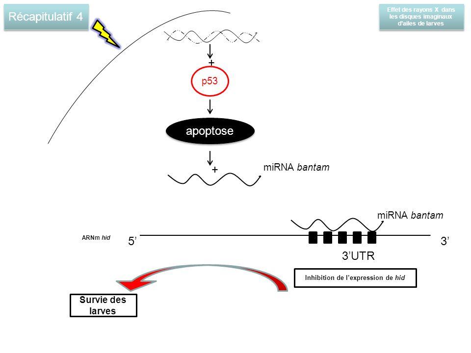Récapitulatif 4 Effet des rayons X dans les disques imaginaux dailes de larves p53 apoptose + + miRNA bantam 3UTR ARNm hid 5 Survie des larves 3 Inhibition de lexpression de hid miRNA bantam