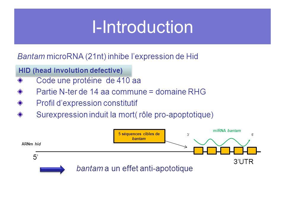 I-Introduction Bantam microRNA (21nt) inhibe lexpression de Hid Code une protéine de 410 aa Partie N-ter de 14 aa commune = domaine RHG Profil dexpression constitutif Surexpression induit la mort( rôle pro-apoptotique) bantam a un effet anti-apototique 3UTR 5 ARNm hid 35 5 séquences cibles de bantam HID (head involution defective) miRNA bantam