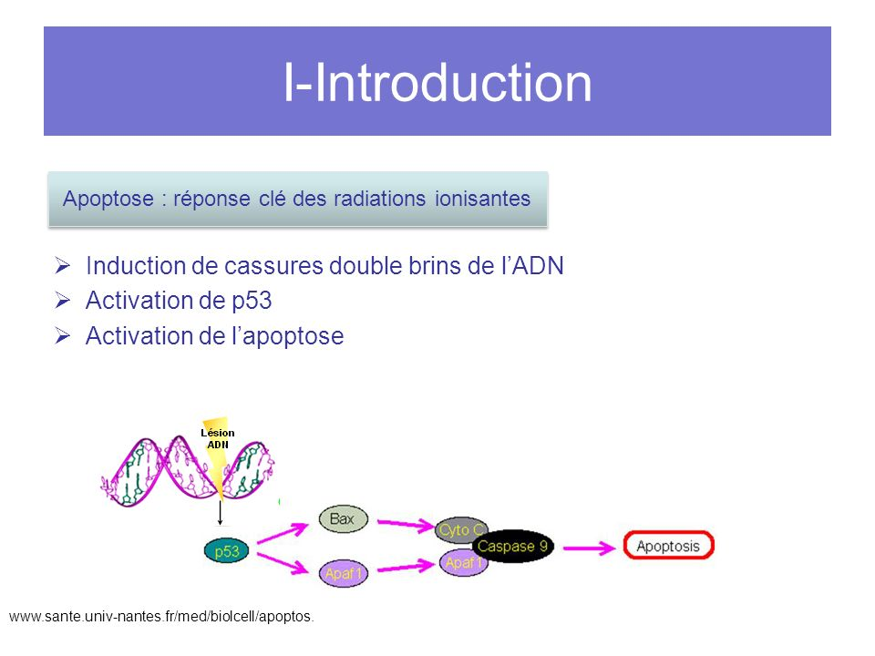 I-Introduction Induction de cassures double brins de lADN Activation de p53 Activation de lapoptose Apoptose : réponse clé des radiations ionisantes w