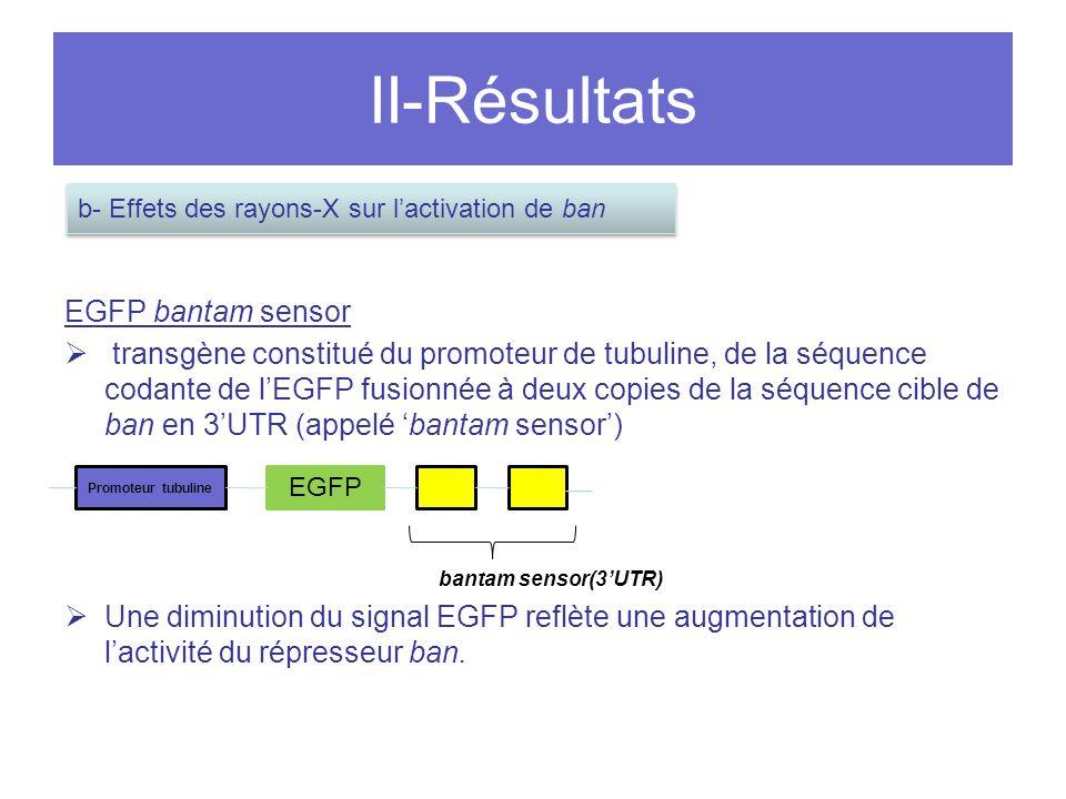 II-Résultats EGFP bantam sensor transgène constitué du promoteur de tubuline, de la séquence codante de lEGFP fusionnée à deux copies de la séquence cible de ban en 3UTR (appelé bantam sensor) bantam sensor(3UTR) Une diminution du signal EGFP reflète une augmentation de lactivité du répresseur ban.