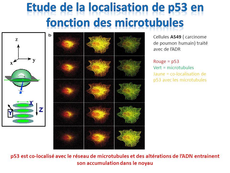 La translocation nucléaire de p53 nécessite un réseau fonctionnelle de microtubules Linduction des gènes cibles par p53 est diminuée due à sa mauvaise translocation Cellules A549 Rouge = p53 Vert = microtubules Jaune = merge VCR = vincristine TX = paclitaxel
