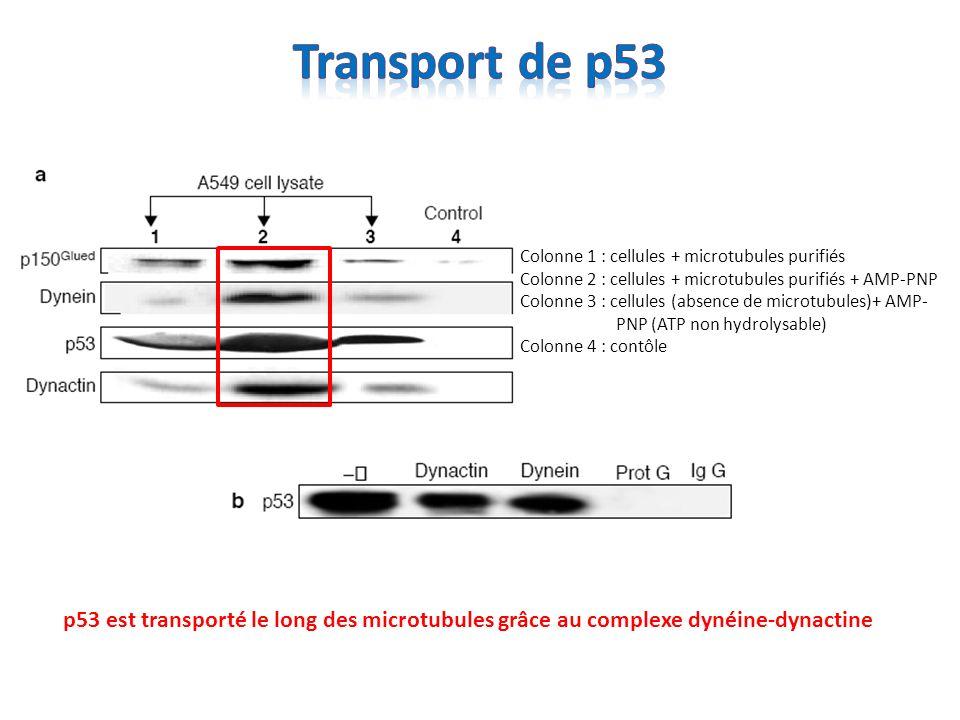 Cellules A549 + dommage de lADN Rouge = surexpression de dynamitine Vert = p53 Le complexe dynéine/dynactine permet le transport de p53 vers le noyau Cellules A549 + dommage de lADN Rouge = p53 Vert = cellule transfectée avec des anticorps anti-dynéine