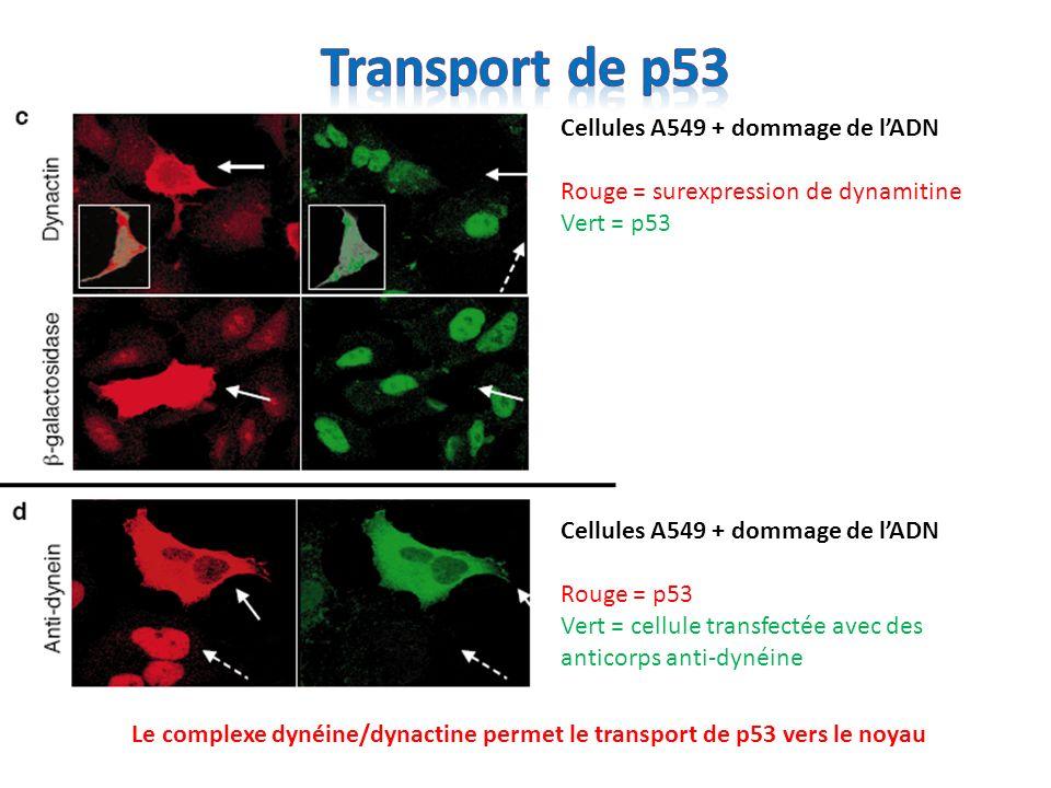 RBT = rat-brain tubulin RBMT = rat-brain microtubule Pp53 = p53 purifiée P = culot S = surnageant p53 interagit spécifiquement avec les microtubules in vitro Cette interaction est induite par les protéines qui sont associées aux microtubules comme la dynéine
