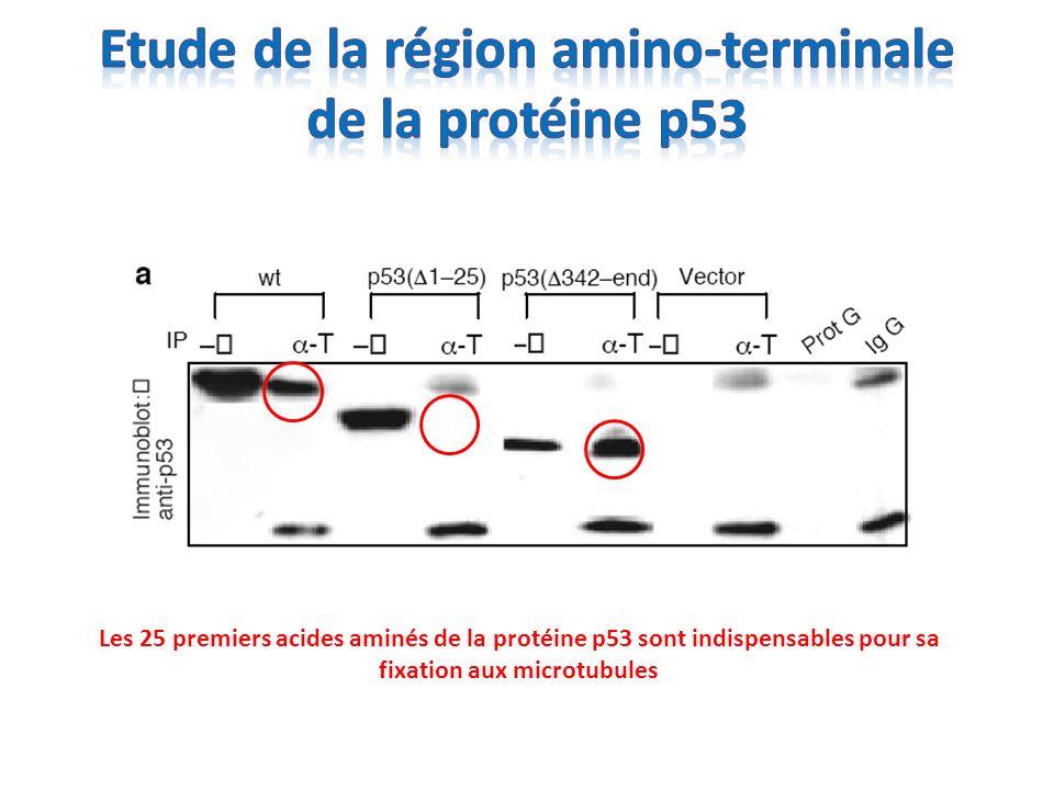 Cellules PC3 (p53-null) + ADR Rouge = p53 Vert = microtubules Jaune = merge