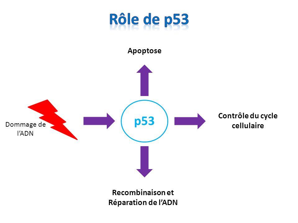Dommage de lADN Activation de p53 Activité indépendante de la transcription: via la mitochondrie, … Répression transcriptionnelle bcl-2, fgf1 Activation transcriptionnelle bax, noxa, puma, fas...