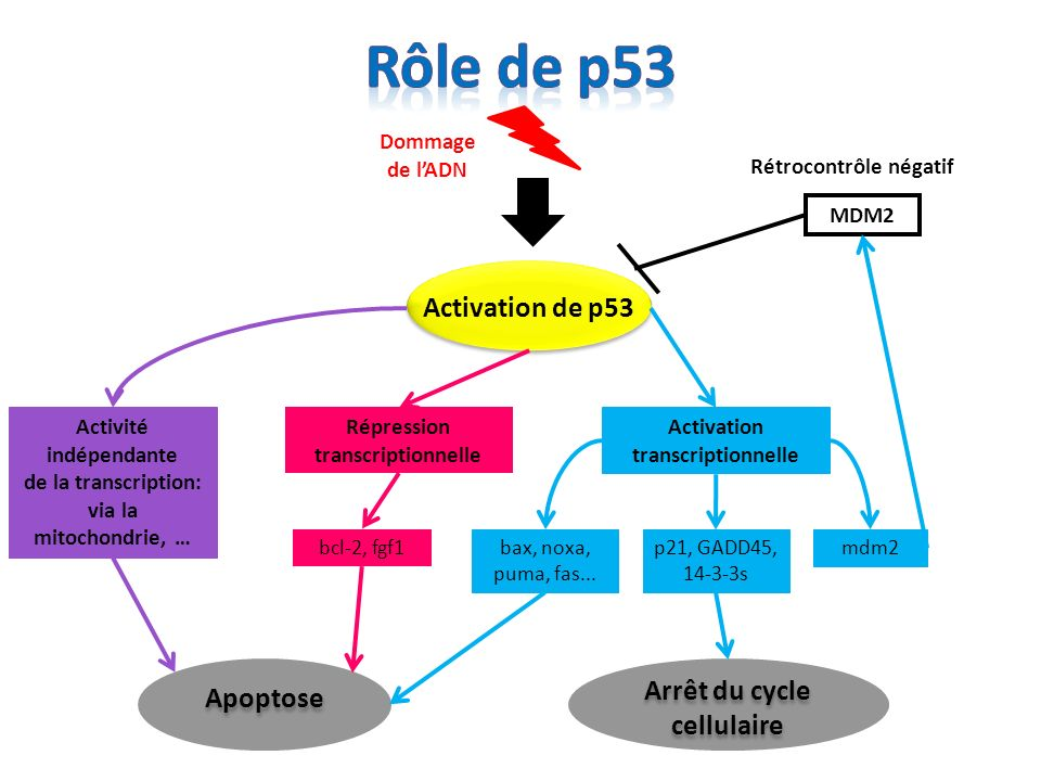 50 % des cancers humains sont dus à une inactivation de p53 par des mutations sur ce gène Ces mutations entrainent une perte des capacités anti-prolifératives et apoptotiques de p53 - Il existe dautres mécanismes entrainant linactivation de p53 - Lun des mécanismes les moins connus est la séquestration de p53 dans le cytoplasme