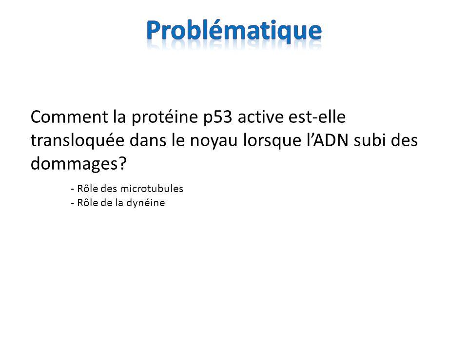 Comment la protéine p53 active est-elle transloquée dans le noyau lorsque lADN subi des dommages? - Rôle des microtubules - Rôle de la dynéine