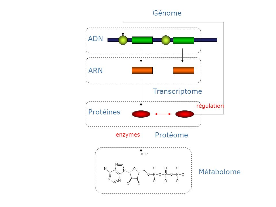 ARN Transcriptome ADN Génome enzymes P O O OP O O OP O O O O N O N N O N N O ATP Métabolome Protéome Protéines régulation