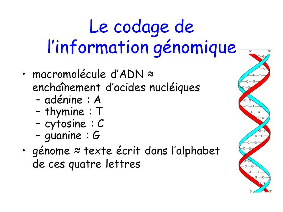 Le codage de linformation génomique macromolécule dADN enchaînement dacides nucléiques –adénine : A –thymine : T –cytosine : C –guanine : G génome texte écrit dans lalphabet de ces quatre lettres