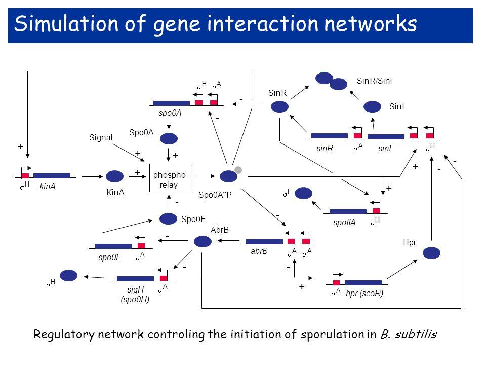 Simulation of gene interaction networks Regulatory network controling the initiation of sporulation in B. subtilis