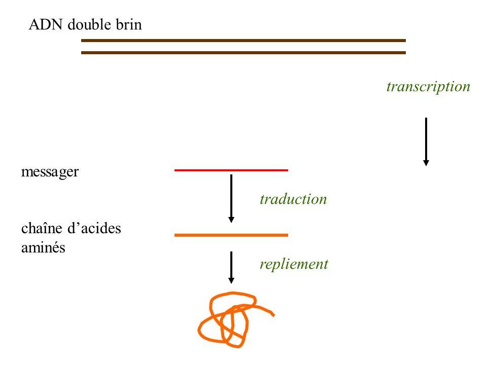 ADN double brin chaîne dacides aminés traduction repliement transcription messager