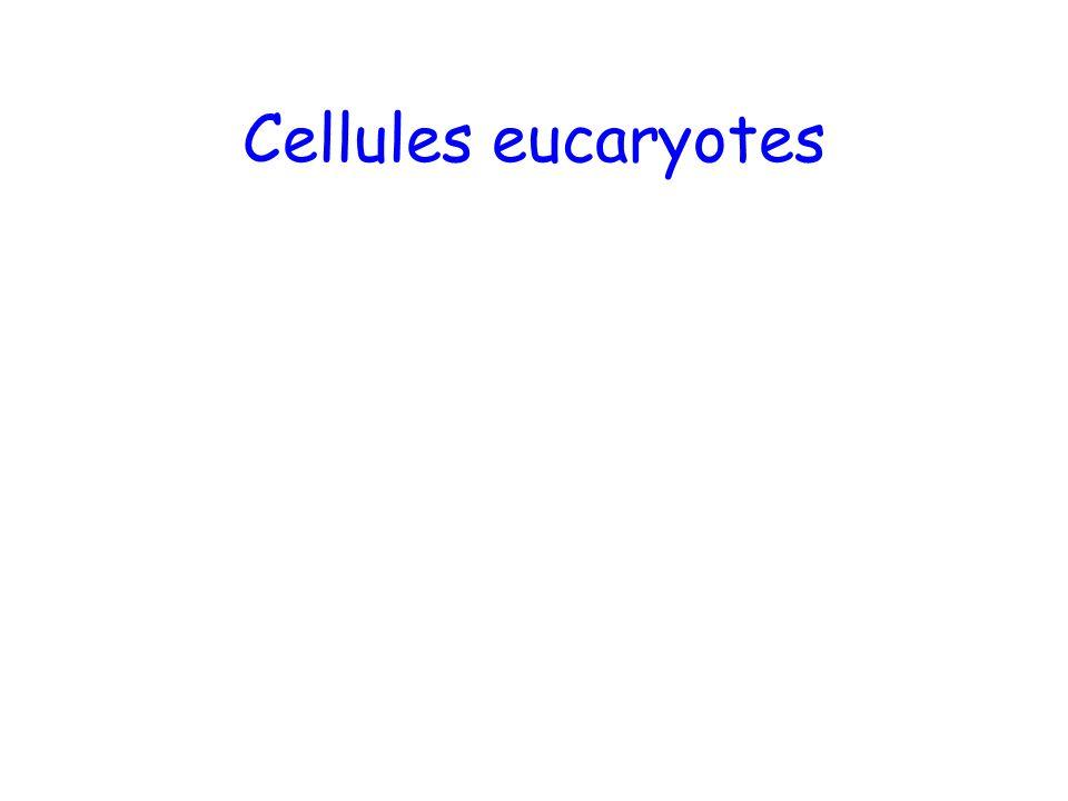 Cellules eucaryotes
