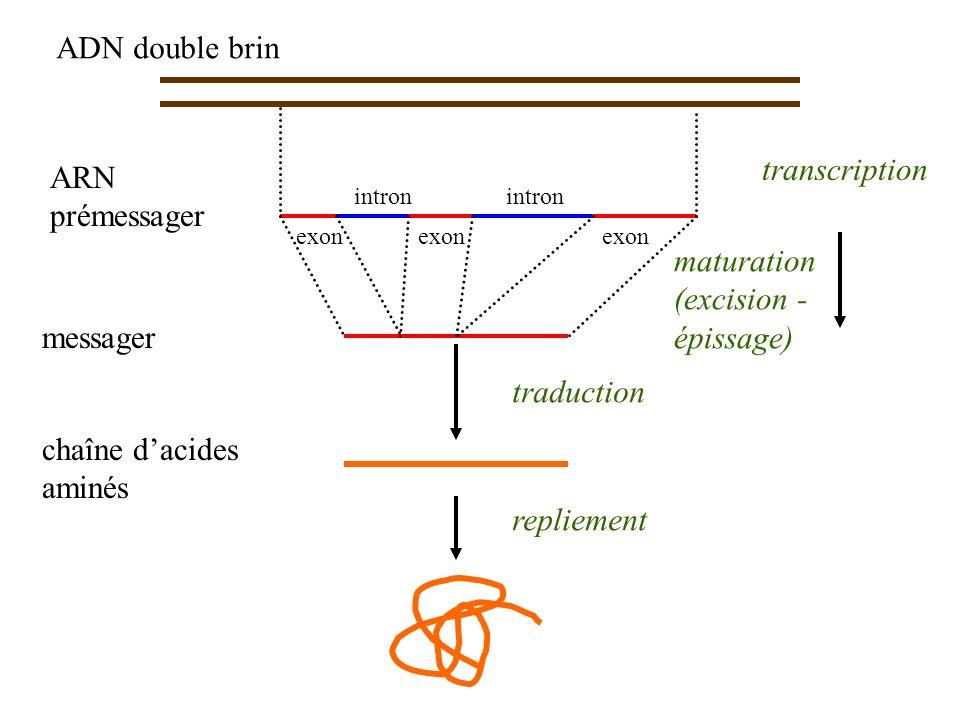 ARN prémessager ADN double brin chaîne dacides aminés traduction repliement transcription messager exon intron maturation (excision - épissage)