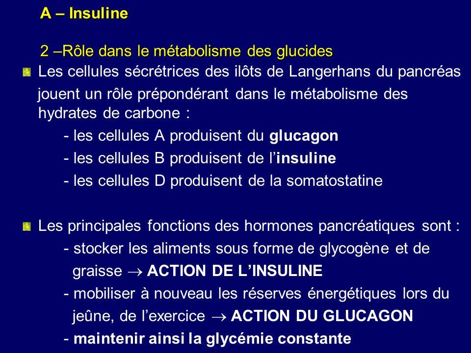 A – Insuline 2 –Rôle dans le métabolisme des glucides Les cellules sécrétrices des ilôts de Langerhans du pancréas jouent un rôle prépondérant dans le